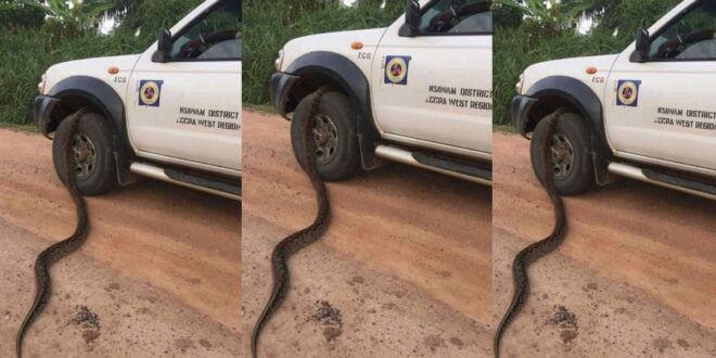 OMG! See the moment a Big Snake crawled into tyre of ECG car while Driver is seated 1